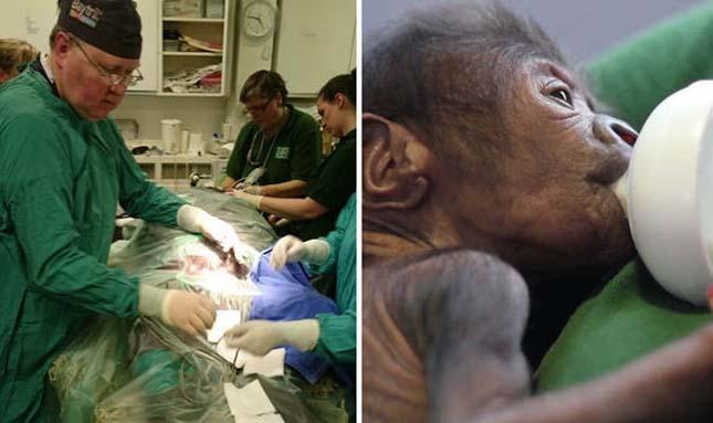 Császármetszéssel született a gorillabébi