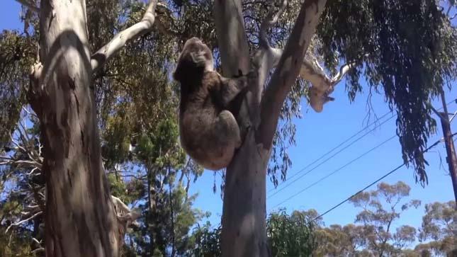 Hisztiző koala