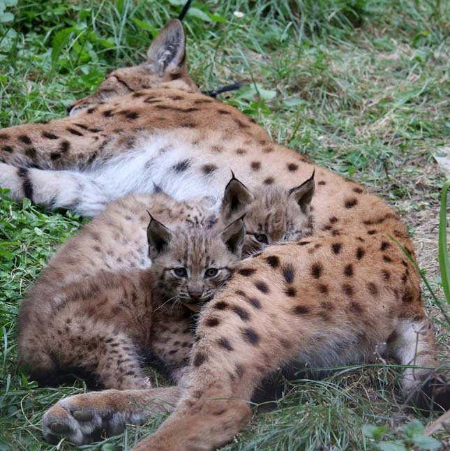 Hiuúzok születtek a Veszprémi Állatkertben