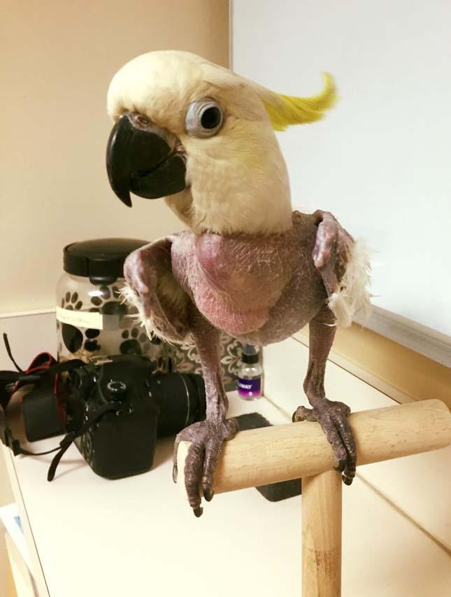 Javi papagáj