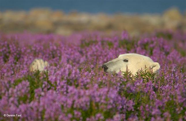 Jegesmedvék mezőn