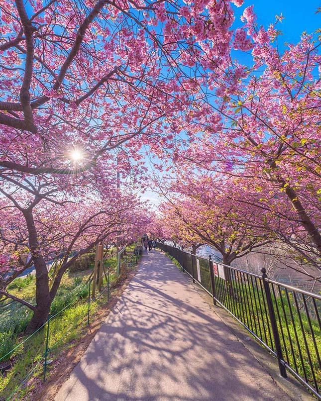 Cseresznyevirágzás
