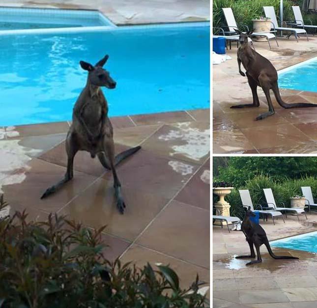 Kenguru szökött be  a medencébe