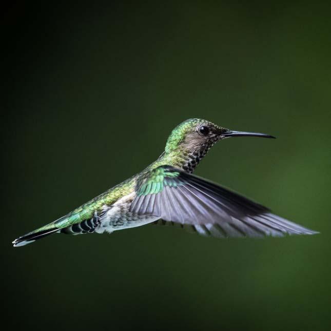 Kolibrik Trinidad és Tobago
