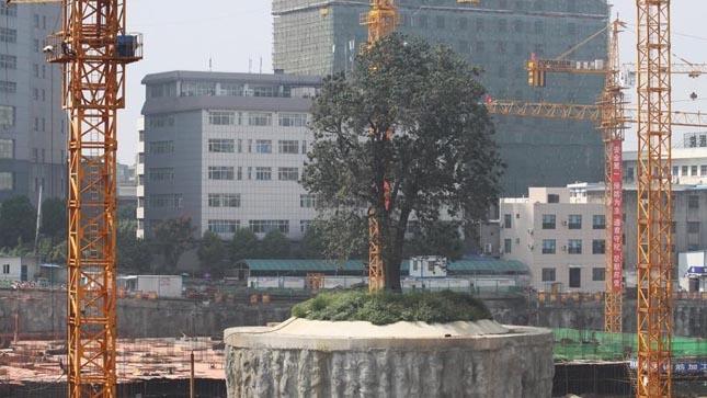 Körbeépítik a 323 éves fát Kínában