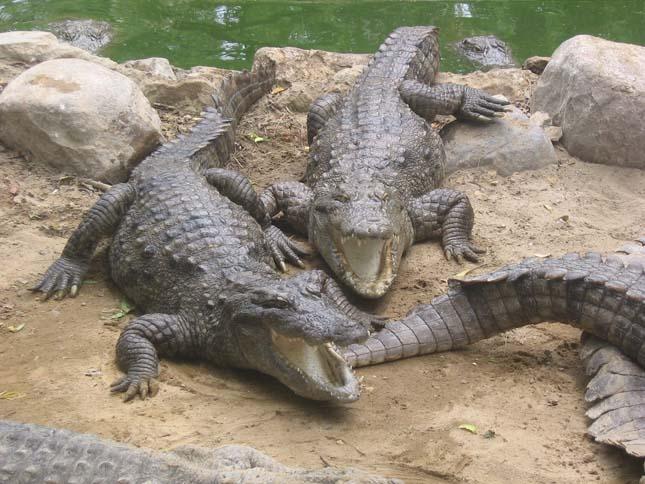 Krokodilok