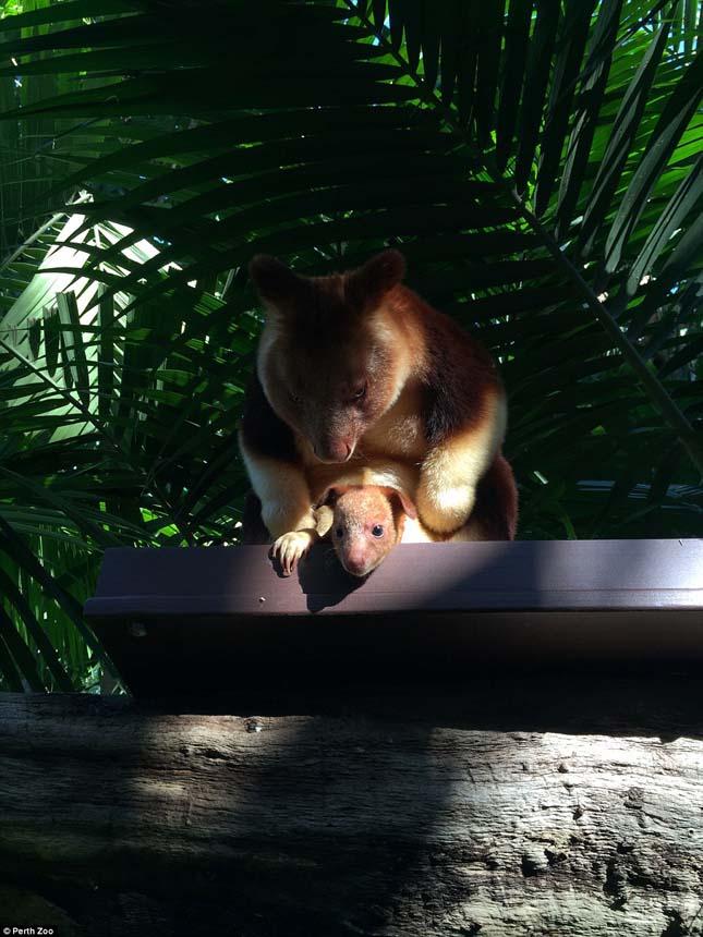 Fakúszókenguru kölyök