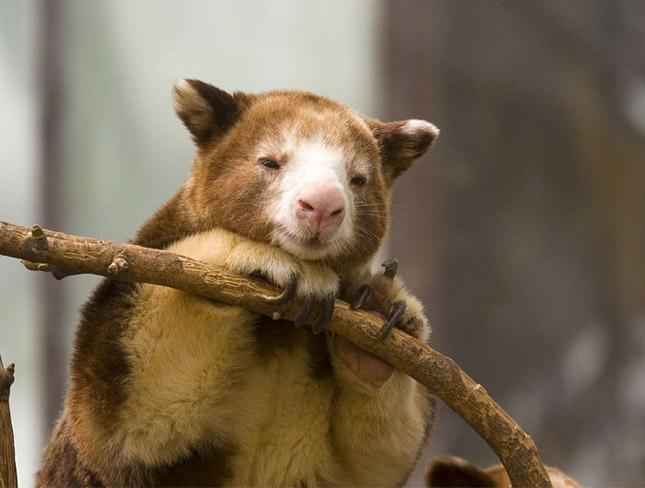 Fakúszó kenguruk