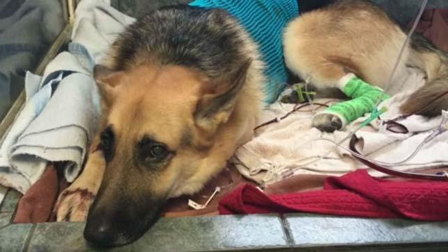 Csörgőkígyó marta a meg a gazdáját védelmező kutyát