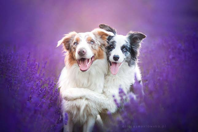 Kutyák a levendulamezőn