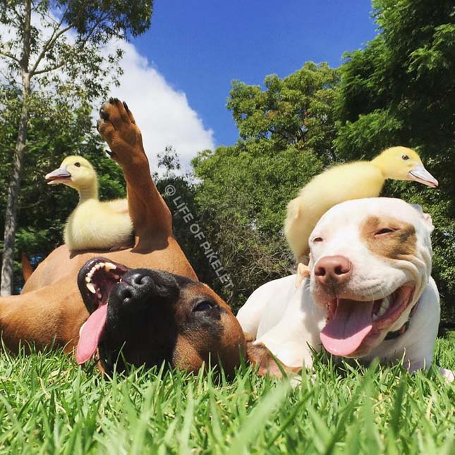 Kutyák és kiskacsák barátsága