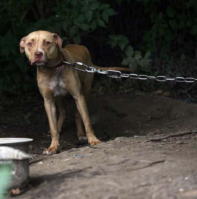 Tilos láncon tartani a kutyákat