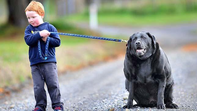 Labrador elhízásának oka