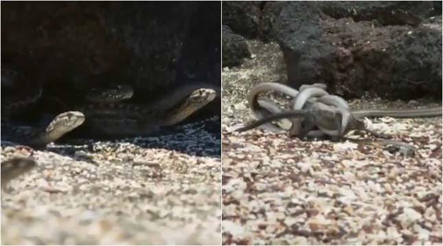 Egy csapat kígyó üldözte a leguánt