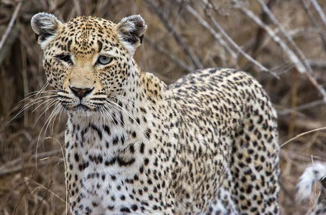 Veszélyben vannak a leopárdok Dél-Afrikában