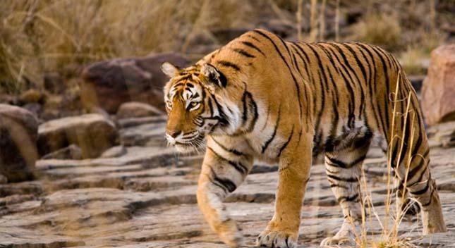 India leghíresebb tigrise