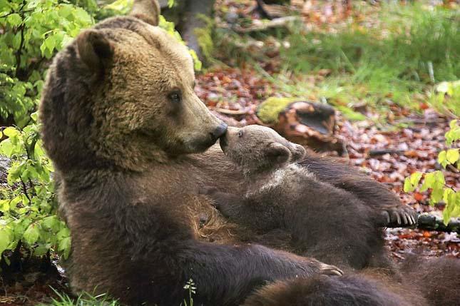 Medvecsaldok