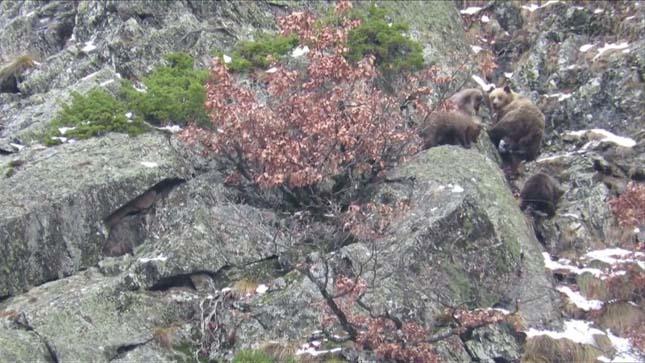 Barna medvék a Pireneusokban