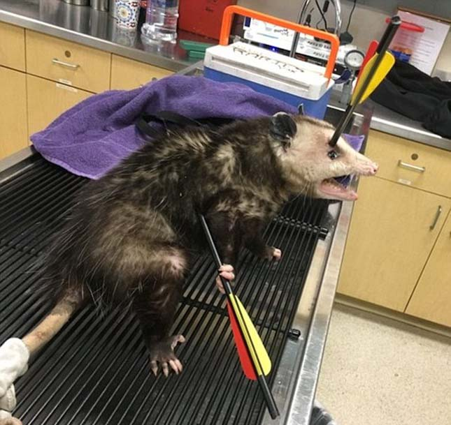 Íjjal lőttek meg egy oposszumot