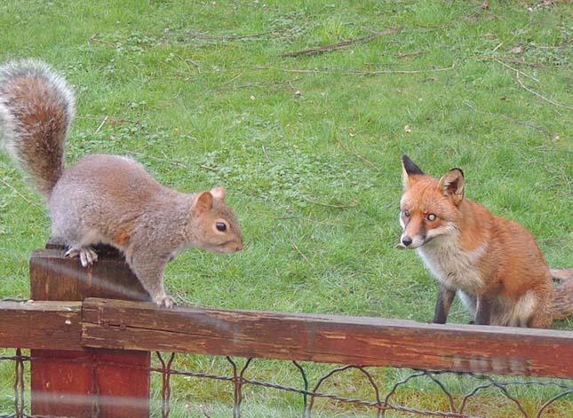 Mókus és róka