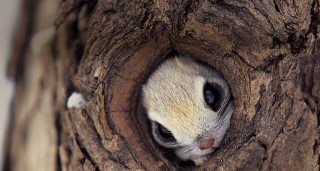Pteromys momonga - Japán sutaszárnyúmókus