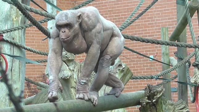 Szőrtelen csimpánz