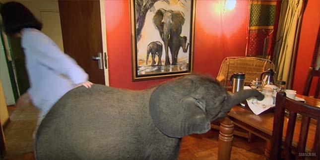 Mindenhová követi megmentőjét a kiselefánt