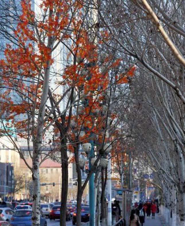 Őszi levelekt ragasztottak egy kínai város fáira