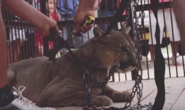 Húsz év után szabadult ki egy cirkuszi puma