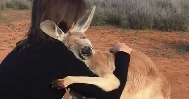 Ölelkező kenguru