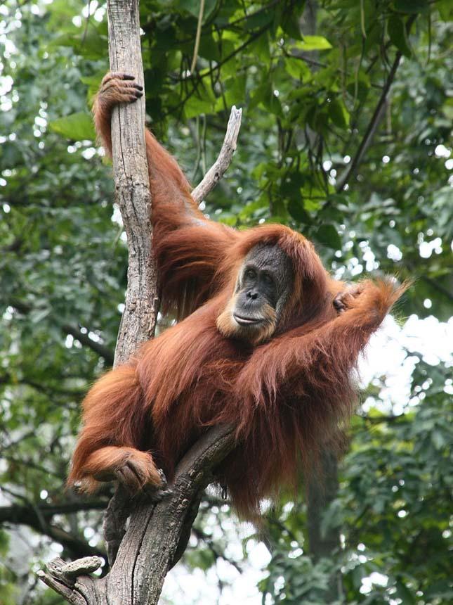 Orángután