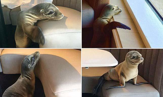 Oroszlánfóka az étteremben