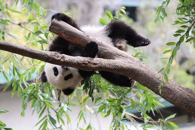 Ragaszkodó panda
