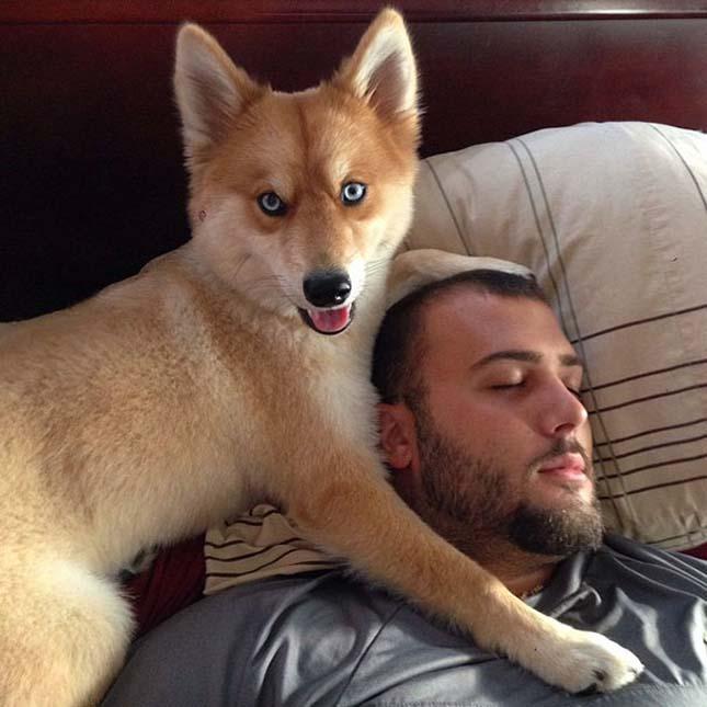Rókának néz ki a különleges kutya