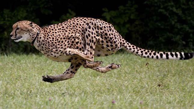 A világ leggyorsabb emlőse
