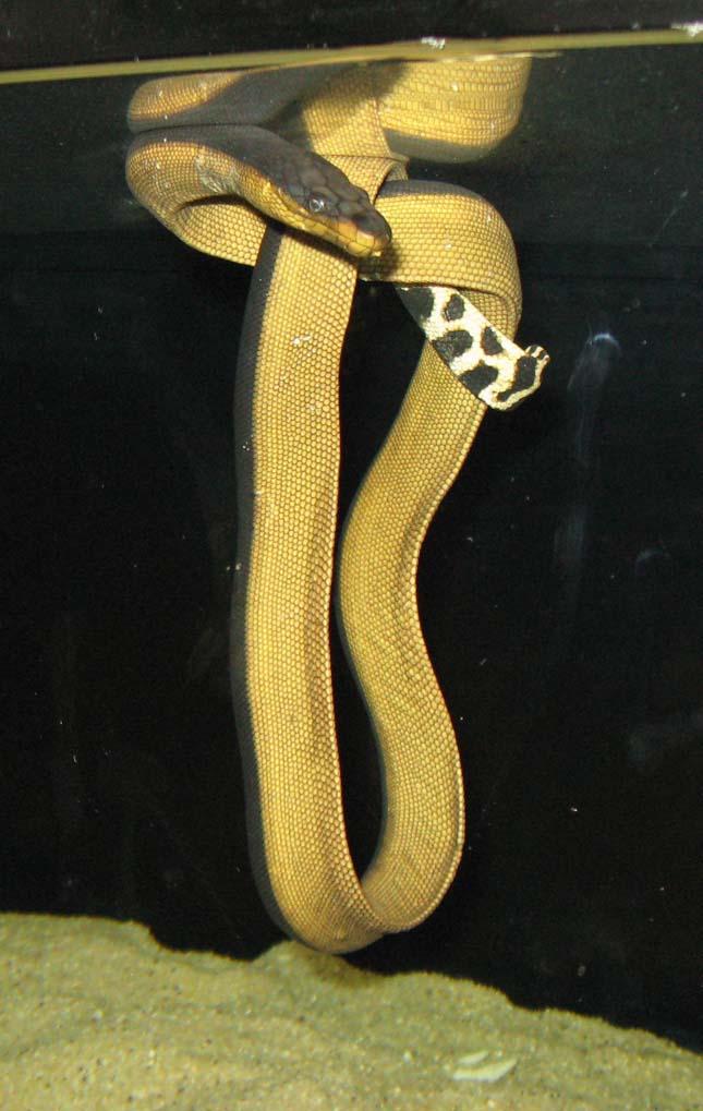 Sárgahasú tengerikígyó