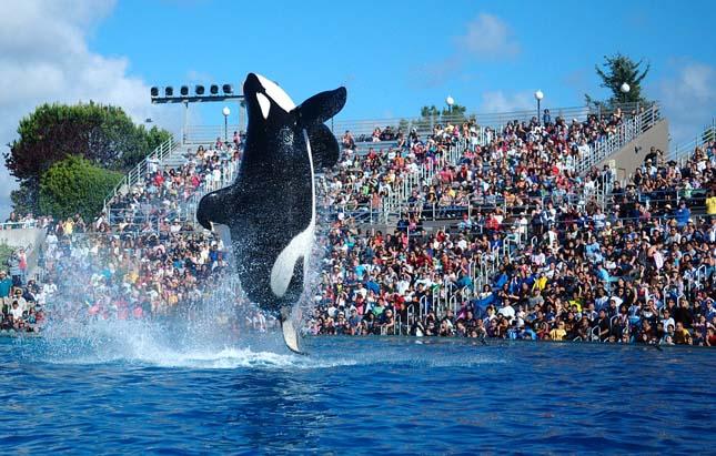 Kardszárnyú delfin