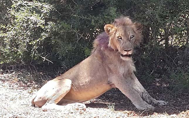 Sérült oroszlán