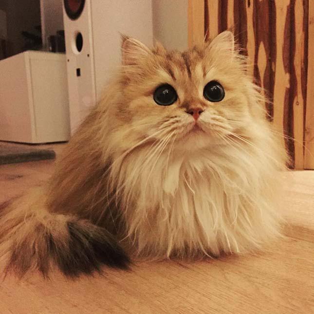 Smoothie macska