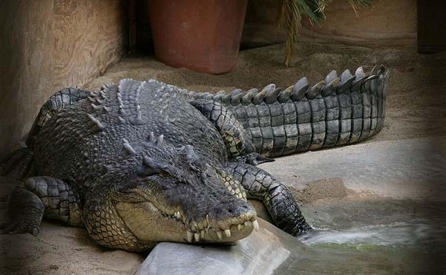 Sósvízi krokodil