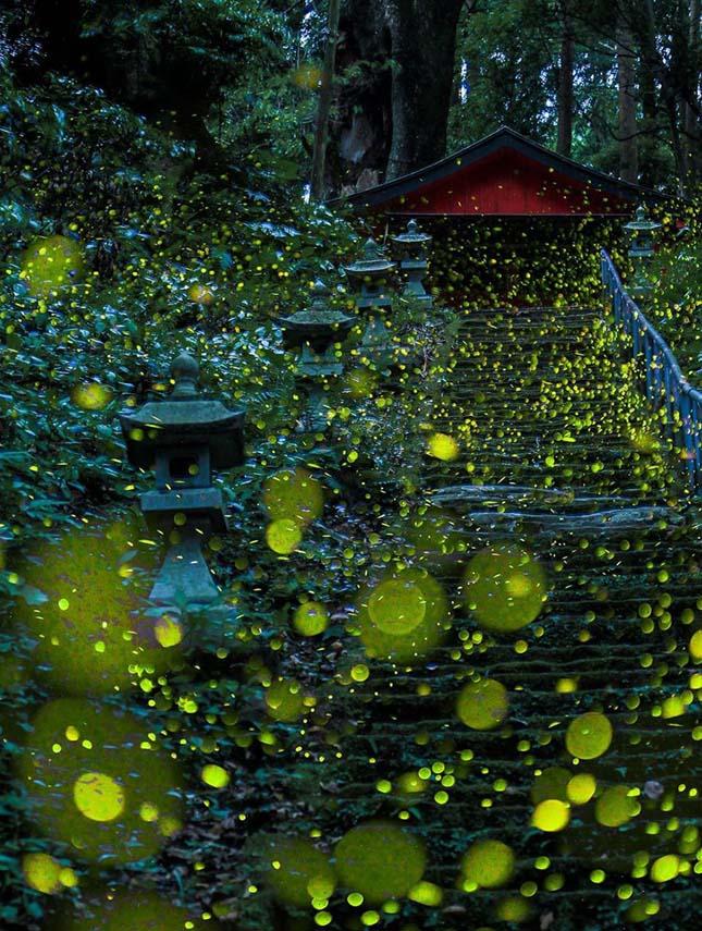 Szentjánosbogarak Japánban