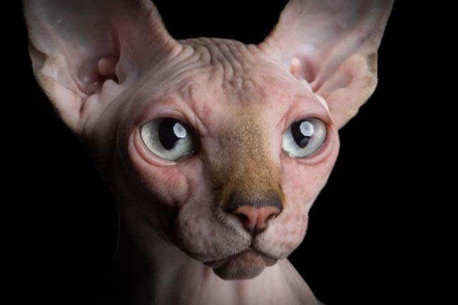 Szfinx macskák