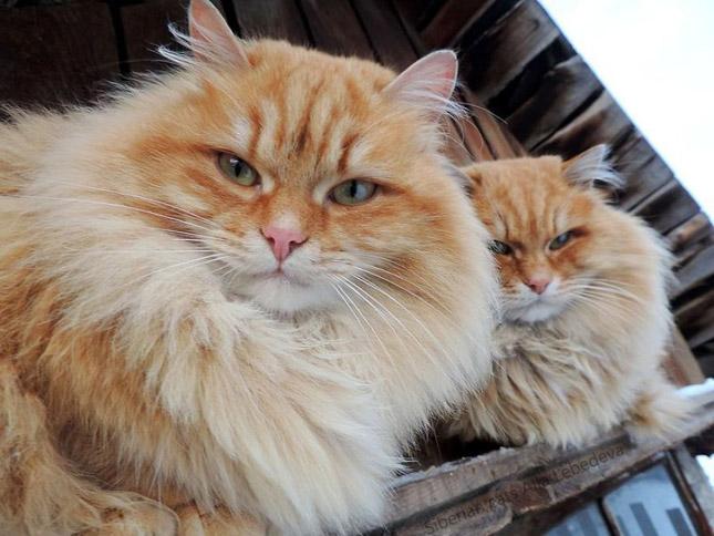 Macskák veték át a hatalmat egy szibériai tanyán