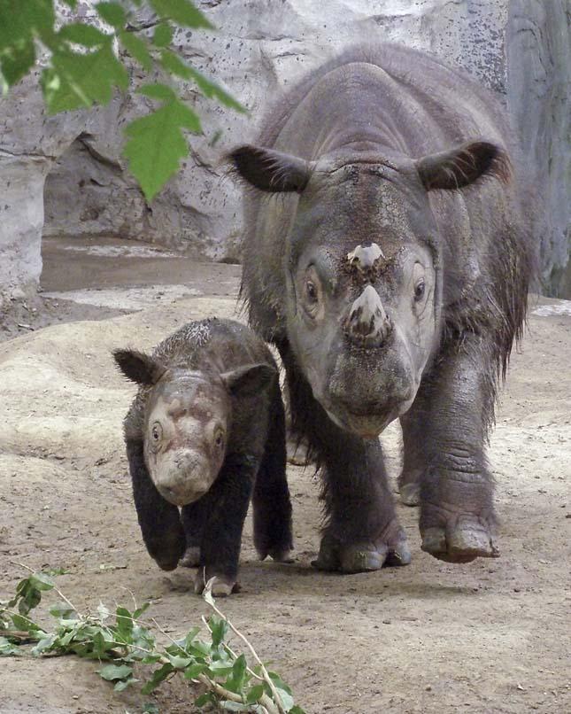 Szumátrai orrszarvú