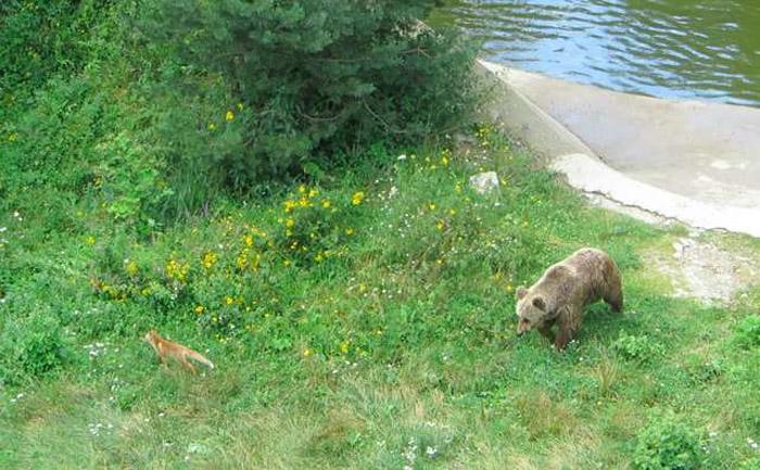Rókával barátkoznak a kiszabadított medvék