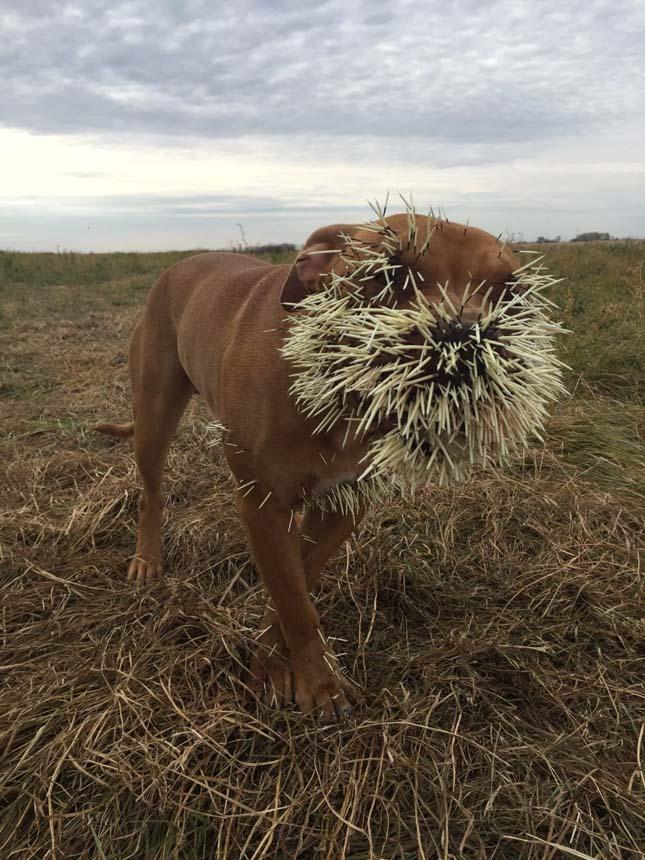 Tarajos sül támadt a kutyákra