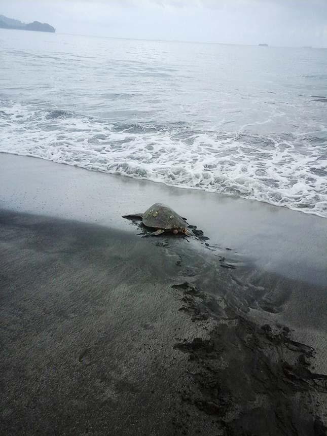 Tengeri teknősök