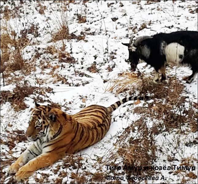 Kecske szembeszállt a tigrissel
