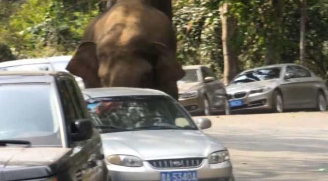 Tomboló elefánt