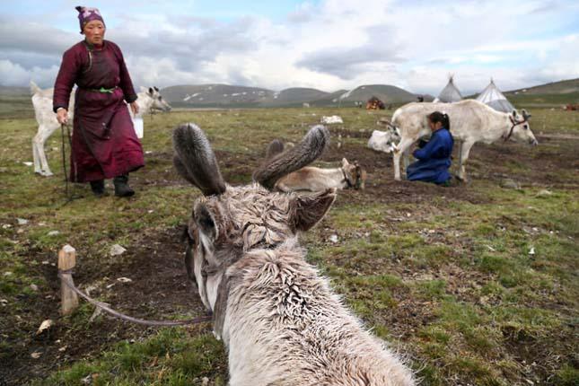 Rénszarvas pásztorok